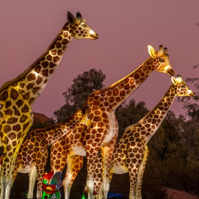 Wildlife Lantern Safari